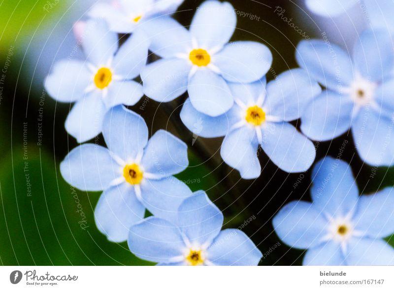Vergissmeinnicht Garten Pflanzen Blumen blau Macro Makro