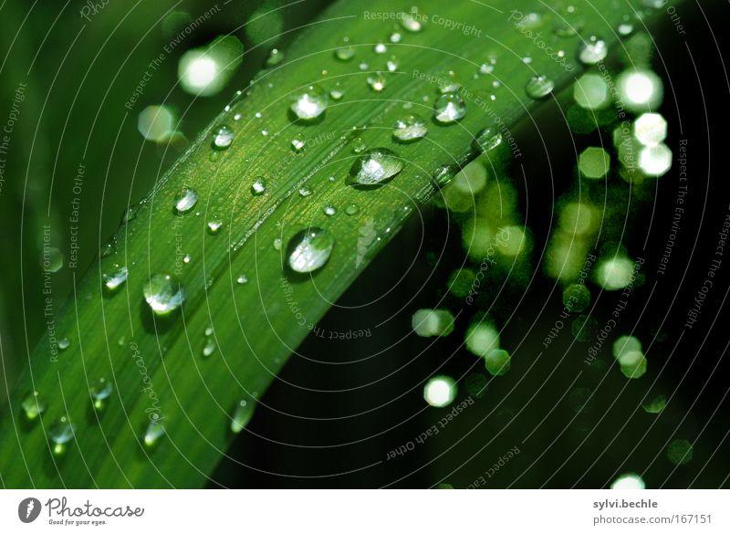 how great you are Natur Pflanze Wasser Wassertropfen Wetter Regen Gras Blatt Grünpflanze glänzend leuchten frisch kalt natürlich schön grün schwarz nass
