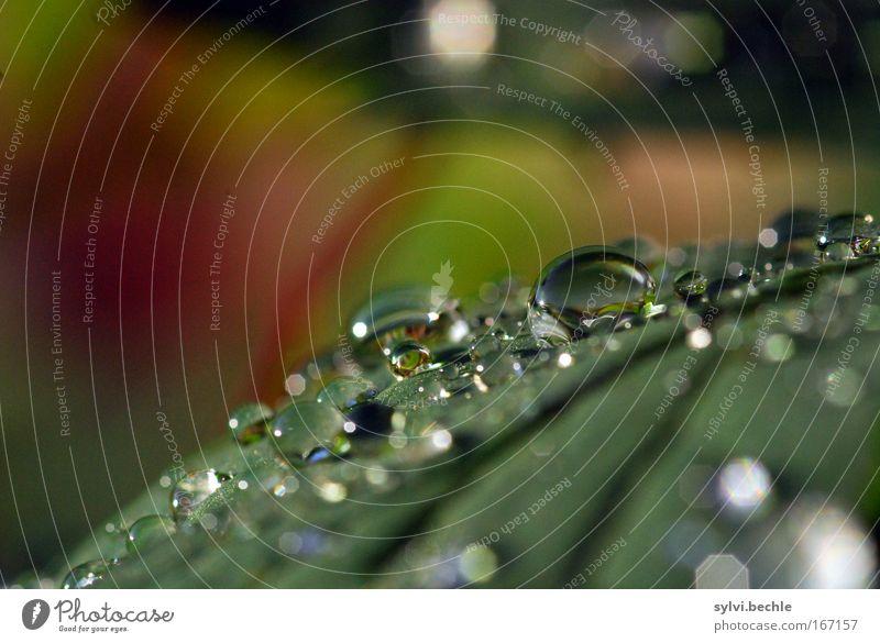 let it rain Natur Wasser schön grün Pflanze rot Blatt kalt Regen glänzend Wetter nass Wassertropfen frisch mehrere Tropfen