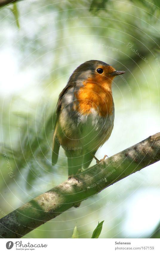 erwischt Einsamkeit Tier Vogel Flügel Wildtier verstecken Rotkehlchen
