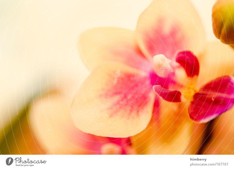 cream & pink Natur schön Pflanze Blume ruhig Erholung Leben Stil Zufriedenheit elegant Design frisch ästhetisch Lifestyle Wellness Kitsch
