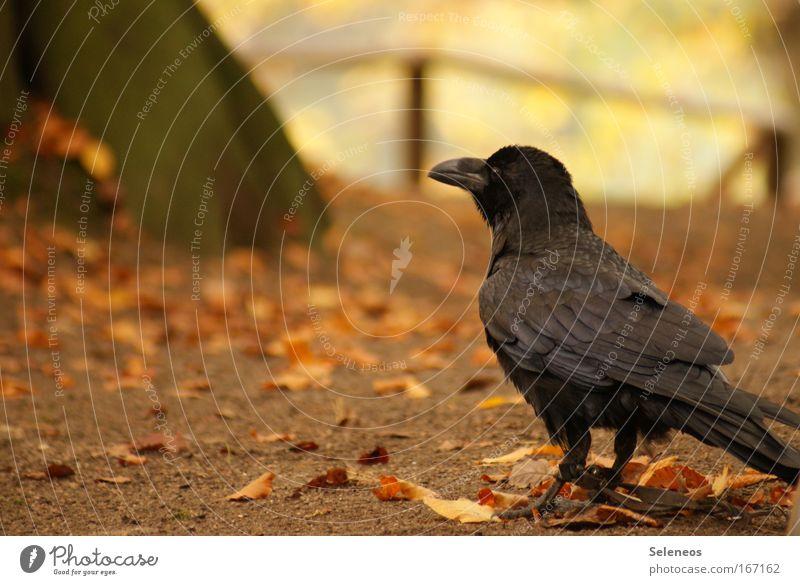 Gefangen Farbfoto Außenaufnahme Menschenleer Textfreiraum links Tag Tierporträt Wildtier Vogel Flügel 1 beobachten klug Einsamkeit bedrohlich Rabenvögel