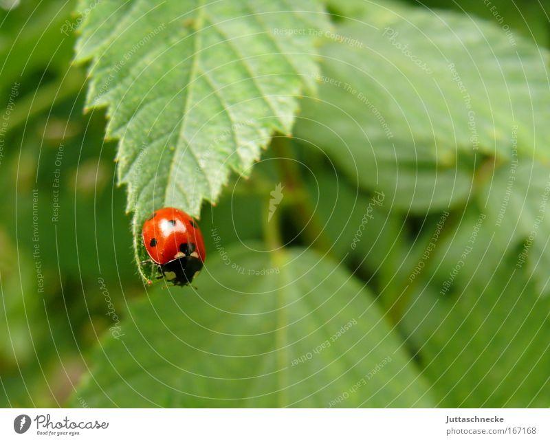 Sprungbrett Natur grün rot Blatt Glück klein Umwelt Sträucher Insekt Marienkäfer Käfer krabbeln Glücksbringer Siebenpunkt-Marienkäfer