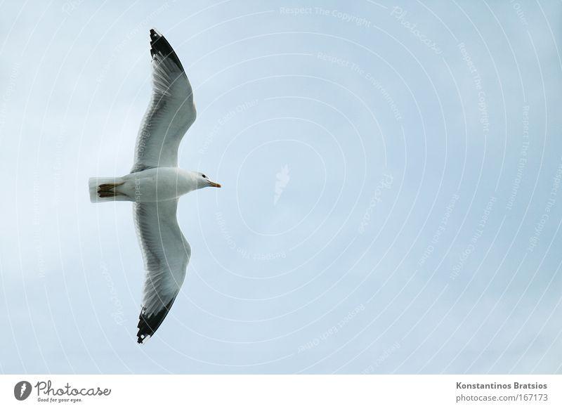 Mittelstreckenflug Farbfoto Außenaufnahme Luftaufnahme Menschenleer Textfreiraum rechts Hintergrund neutral Tag Tier Vogel Möwe 1 fliegen blau grau Freiheit