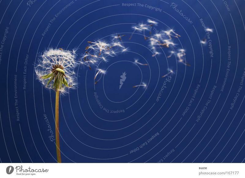 Träumerei Natur Pflanze blau schön Blume Umwelt Bewegung natürlich Glück fliegen träumen ästhetisch Fröhlichkeit Leichtigkeit Löwenzahn leicht