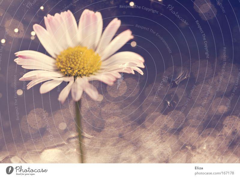 Gänseblümchenblubber Wasser Blume Pflanze Blüte rosa Wassertropfen frisch ästhetisch Blase Gänseblümchen Lichtpunkt