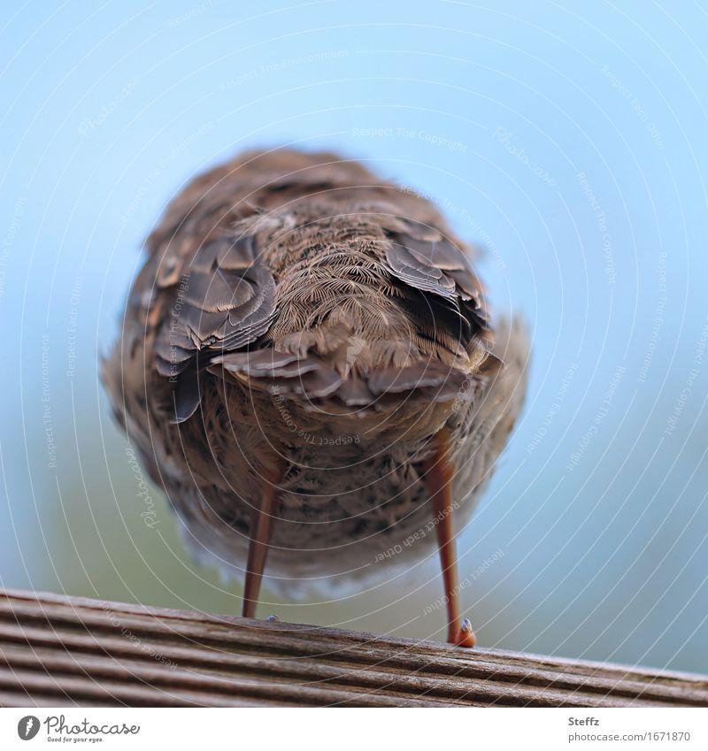 trotzig Natur Tier Vogel Feder Tierjunges Beine Hinterteil Hinterbein 1 stehen Coolness frech lustig natürlich rund blau braun Unlust Breitbeinig