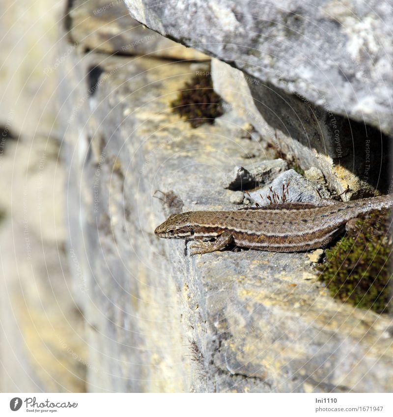 Eidechse Umwelt Natur Tier Sonnenlicht Sommer Schönes Wetter Felsen Wildtier Tiergesicht Schuppen Krallen Mauereidechse 1 Stein beobachten blau braun gelb grau