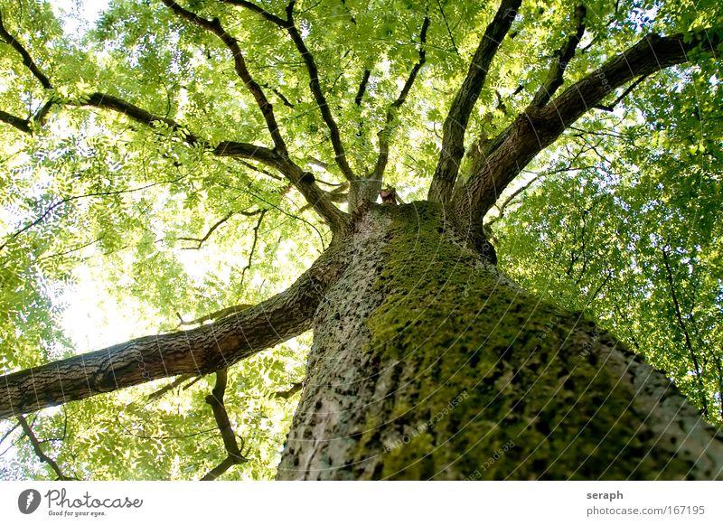 Blätterdach Blatt Wachstum Ast Baum Baumkrone antik Geäst Kruste verzweigt geblümt Stimmungsbild