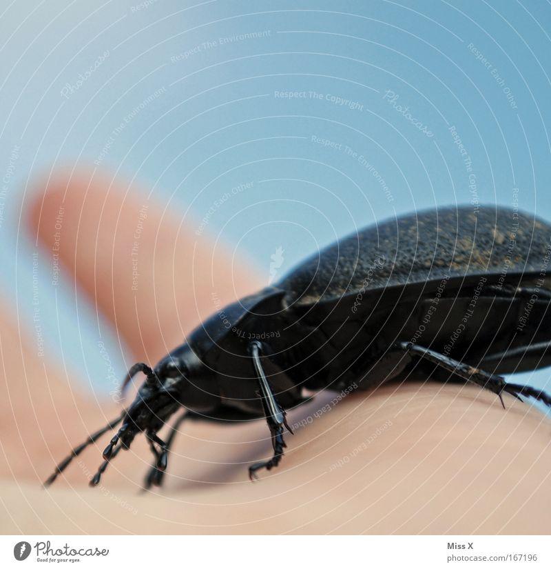 gleich beißt er zu Natur Hand Sommer Tier schwarz Beine Feld Angst groß wandern Ausflug Finger berühren Schutz festhalten Insekt