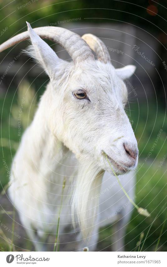 y2 Ausflug Schönes Wetter Gras Garten Wiese Tier Haustier Nutztier Tiergesicht Ziegen Horn Fell 1 Fressen natürlich niedlich weich grün weiß Pause Umweltschutz