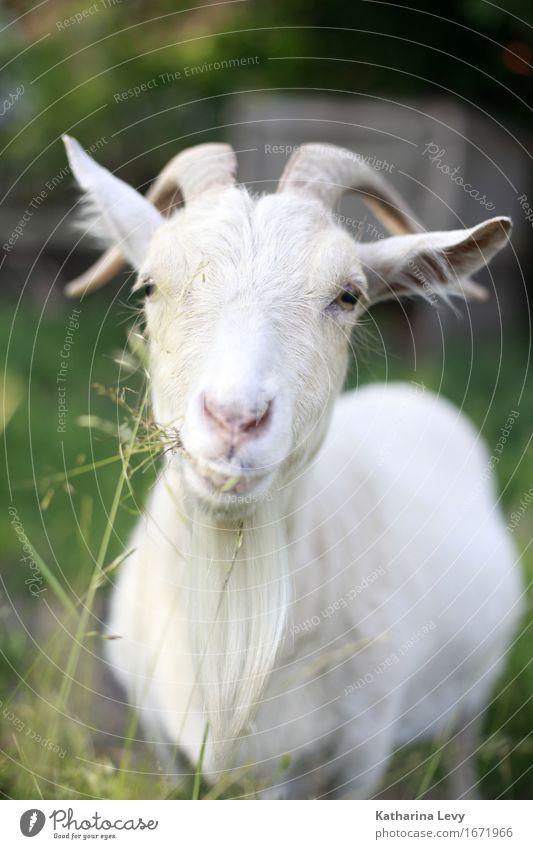 y Pflanze Gras Garten Alm Dorf Menschenleer Tier Nutztier Ziegen Ziegenfell Horn 1 beobachten Fressen Freundlichkeit Neugier niedlich grün Geborgenheit