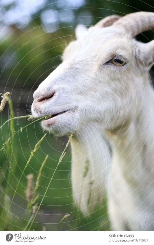 y3 Sommer Gras Tier Haustier Nutztier Ziegen Fell Horn 1 Coolness natürlich niedlich weich grün weiß Tierliebe friedlich Gelassenheit Umweltschutz