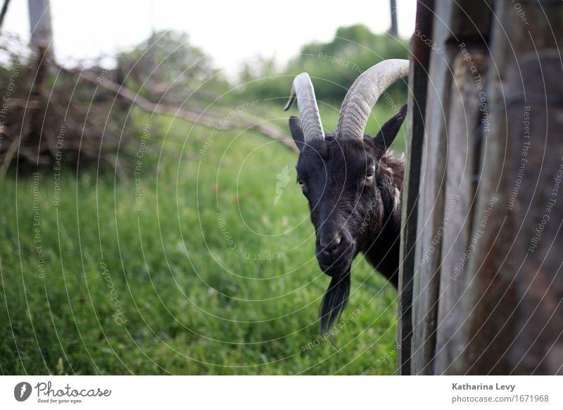 y4 Ausflug Sommer Gras Garten Wiese Dorf Menschenleer Bauernhof Tier Haustier Nutztier Wildtier Ziegen Horn Fell 1 beobachten Neugier braun grün Tierliebe