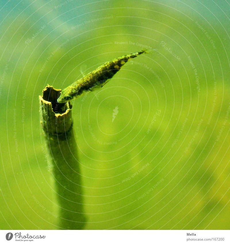 Rein oder nicht rein ... Tier Wildtier Schuppen Fisch Stichling 1 Wasser beobachten Blick Neugier grün Interesse entdecken Natur Perspektive Umwelt Umweltschutz