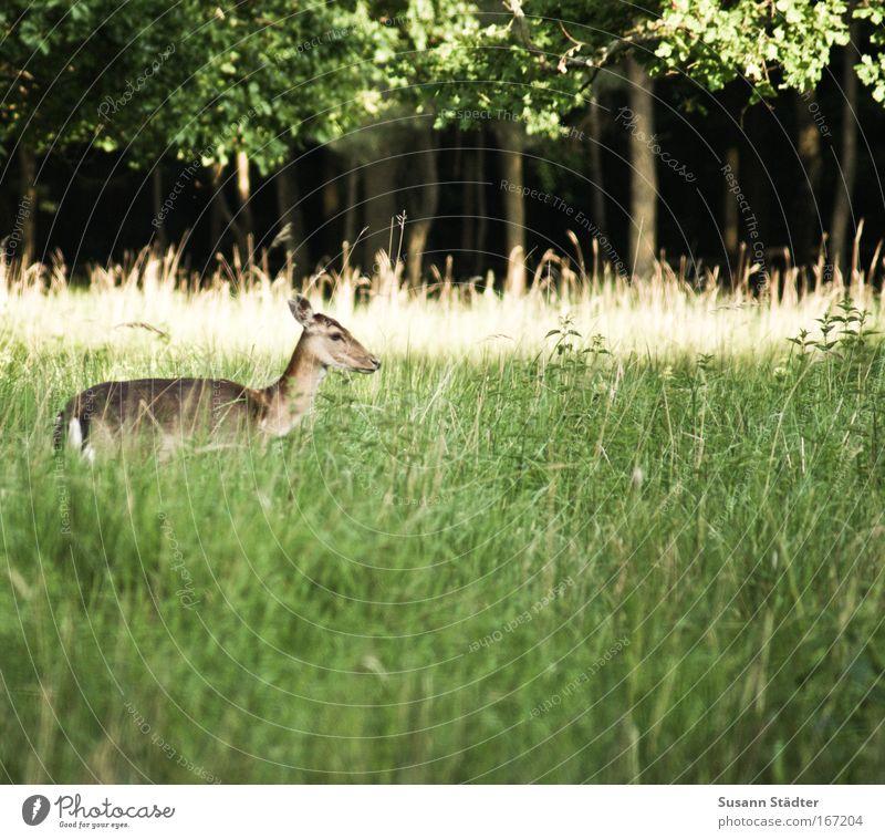 Ein Rehlein steht im Walde . . . Natur Pflanze Sommer Blatt Tier Wiese springen Park Angst stehen fangen Zoo hören Wildtier Jagd