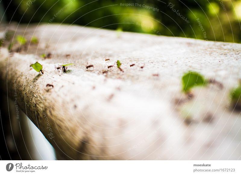 Ameisen in Costa Rica Tiergruppe grün Ameisenstraße Insekt Arbeit & Erwerbstätigkeit fleißig tragen Güterverkehr & Logistik Farbfoto Außenaufnahme Makroaufnahme