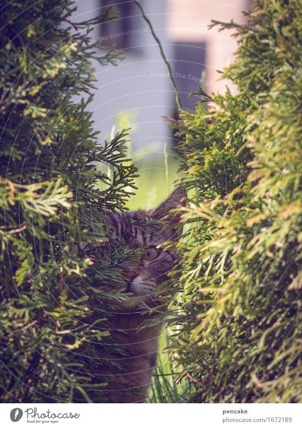sehen aber nicht gesehen werden Sträucher Garten Park Tier Haustier Katze 1 beobachten Tigerkatze Versteck Tarnung verstecken Farbfoto Außenaufnahme Nahaufnahme