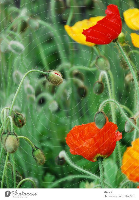 Mohn Farbfoto mehrfarbig Außenaufnahme Nahaufnahme Detailaufnahme Schwache Tiefenschärfe Natur Pflanze Blume Blüte Wildpflanze Topfpflanze Wiese Feld Wachstum