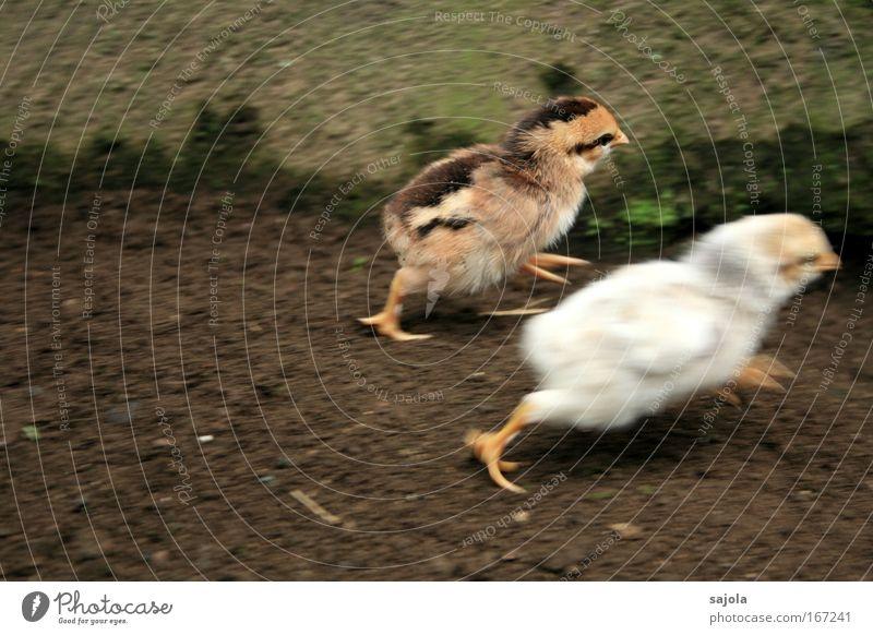 nichts wie weg - chicken run! weiß Tier Bewegung braun Angst rennen Geschwindigkeit gefährlich bedrohlich niedlich Flucht Todesangst Haustier Haushuhn Entsetzen