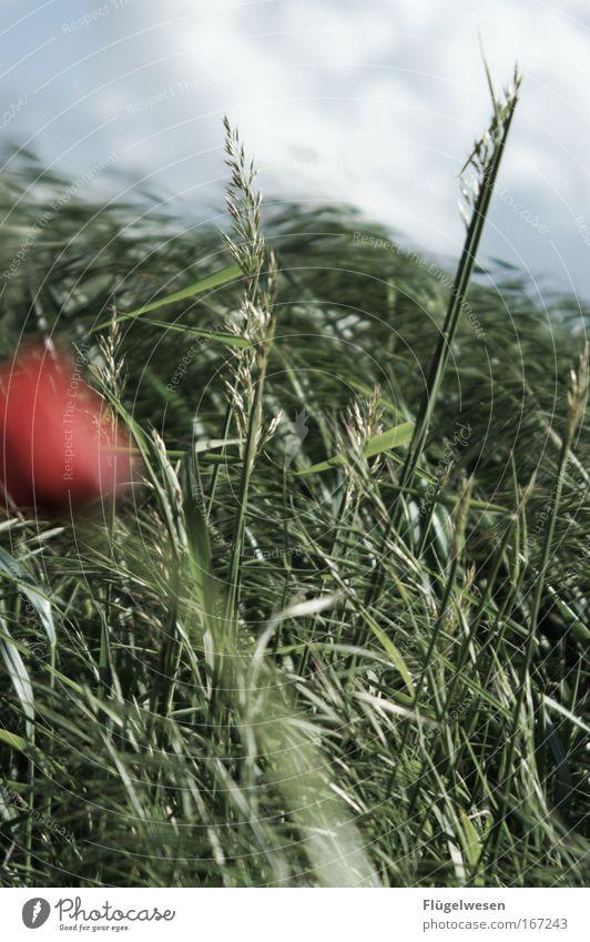 Die letzte Mohnblume der Welt, will nicht ins Bild ;-( Natur Blume Pflanze Wiese Gras Landschaft Kraft Feld Wind Umwelt frisch bedrohlich Sturm Blühend Duft