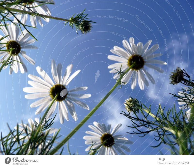 Sommerblümchen... Farbfoto Außenaufnahme Menschenleer Textfreiraum oben Tag Sonnenlicht Froschperspektive Umwelt Natur Pflanze Himmel Wolken Schönes Wetter