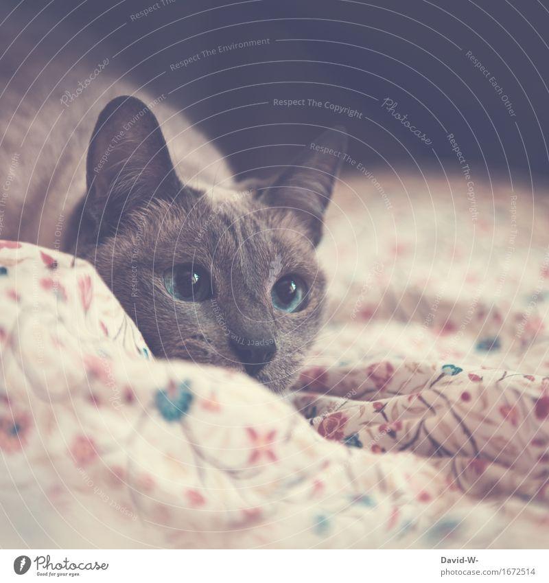 Kätzchen Katze blau schön ruhig Tier Wärme Auge glänzend elegant warten groß beobachten niedlich weich Bett Klarheit