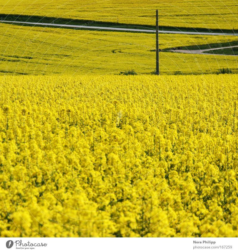 Gelb Natur Pflanze ruhig gelb Blüte Frühling Wege & Pfade Landschaft Feld Umwelt ästhetisch Idylle Schönes Wetter Symmetrie Raps Nutzpflanze