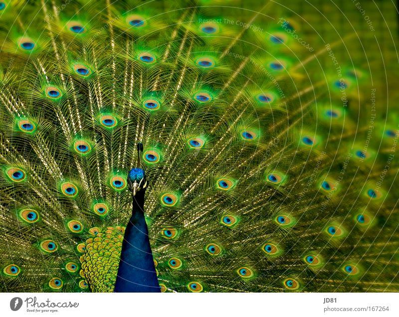 Farbenfroh Tier elegant ästhetisch Tiergesicht Zoo Wildtier Vogel Pfau