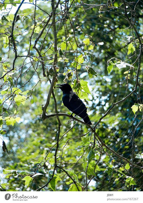 Ausschau halten Natur Baum grün blau Tier gelb Freiheit Landschaft Vogel Flügel beobachten Wachsamkeit Schönes Wetter Krähe