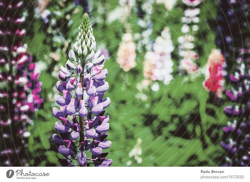 Purpurrote und rosa Snapdragon-Blumen im Frühjahr Umwelt Natur Pflanze Frühling Blatt Blüte Wildpflanze Garten Park Wiese Feld Blühend schön retro grün