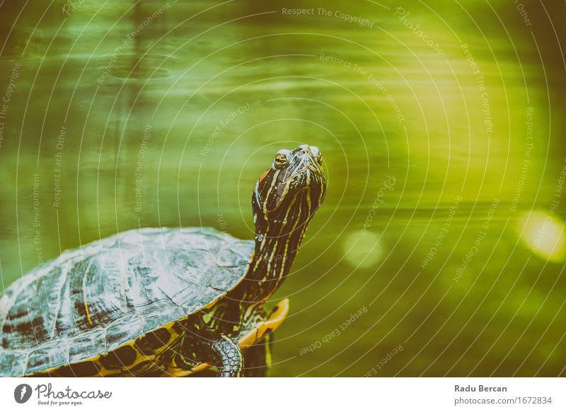 Sumpfschildkröte, die in der Sonne auf Felsen im See-Wasser erhitzt Natur Tier Wildtier Tiergesicht 1 grün Schildkröte Landschildkröte Porträt Tierporträt