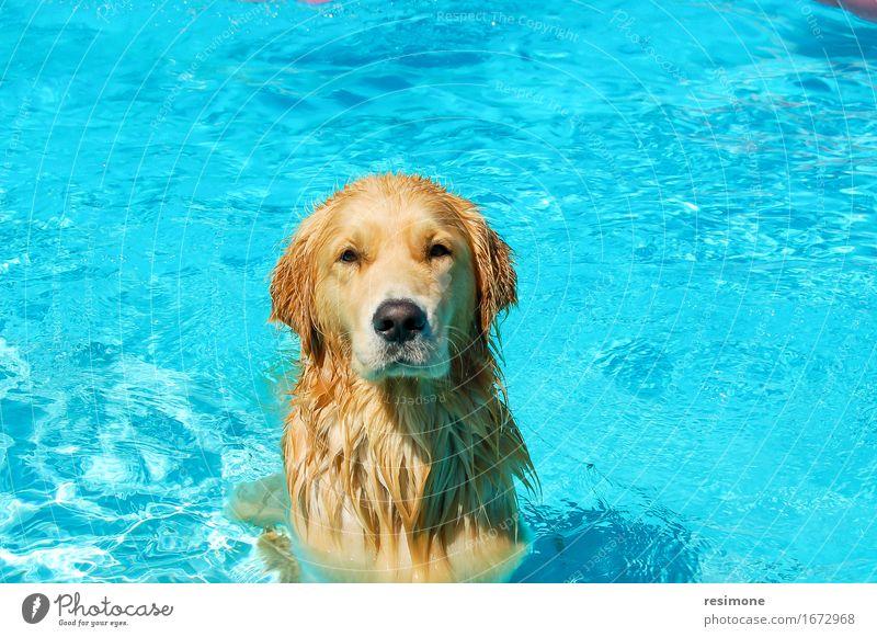 Hund, der ein Bad in einem Pool auf Sommerzeit nimmt blau Tier Freude Gesicht gelb Leben Spielen Glück braun Freundschaft gold nass niedlich Schwimmbad