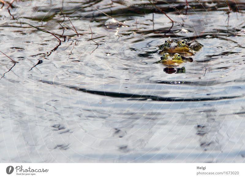 quak quak... Umwelt Natur Tier Wasser Frühling Schönes Wetter Moor Sumpf Wildtier Frosch Wasserfrosch Fortpflanzung 2 Brunft authentisch Zusammensein
