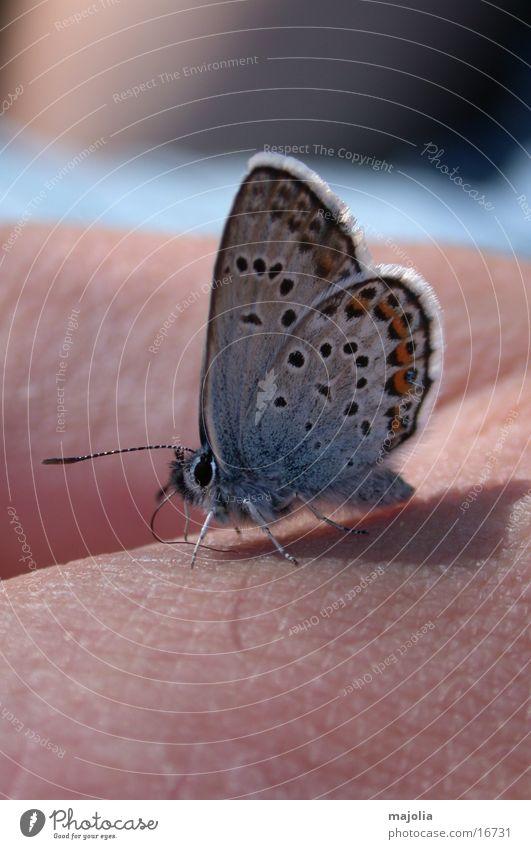 hungriger Schmetterling Hand blau Verkehr Schmetterling