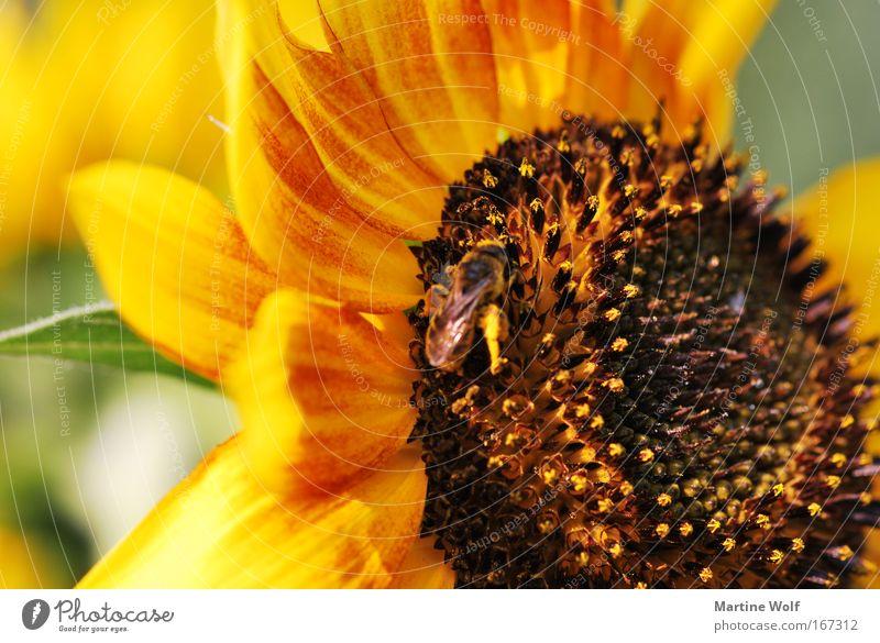 sunflower Natur Pflanze Tier Sommer Blüte Sonnenblume Biene 1 Blühend braun gelb Lebensfreude fleißig Sammlung Farbfoto Außenaufnahme Makroaufnahme Menschenleer