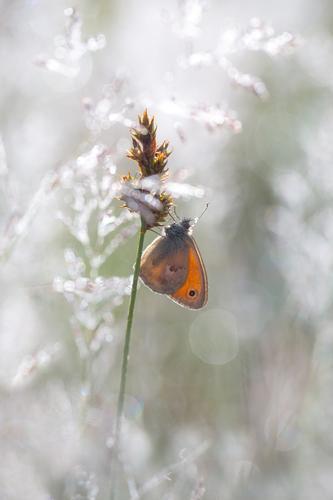 Ein Schmetterling sitzt an einem Grashalm Natur Sommer Tier Frühling Wiese Glück Stimmung Wildtier