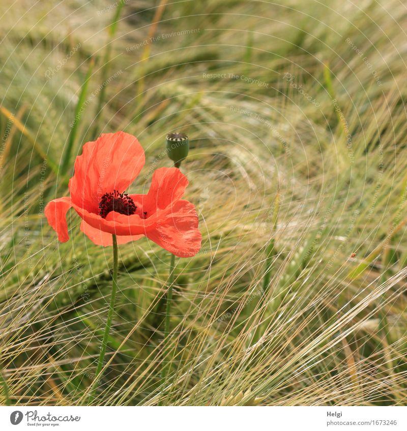 Mohn am Dienstag... Umwelt Natur Pflanze Frühling Schönes Wetter Blume Nutzpflanze Getreide Gerste Mohnblüte Samen Ähren Feld Blühend stehen Wachstum ästhetisch