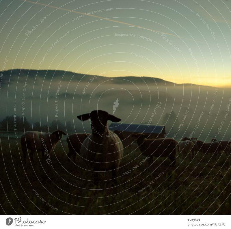 Guten morgen Schafe! Himmel Sommer Tier Landschaft Wetter Feld Klima Nebel Tiergruppe Schönes Wetter Schaf Umweltschutz Herde Nutztier