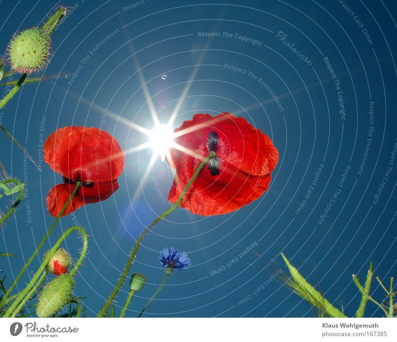 Blumen im Wind Himmel Natur Sonne Pflanze Sommer Mohn Blühend Stengel leuchten Blütenknospen Schönes Wetter Blütenblatt Wildpflanze Klatschmohn Leuchtkraft