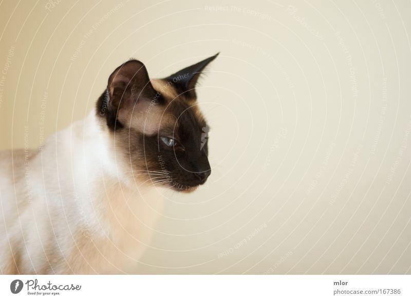 Mach mal miau Gedeckte Farben Innenaufnahme Nahaufnahme Hintergrund neutral Abend Kontrast Silhouette Tierporträt Blick nach vorn Haustier Katze Tiergesicht 1