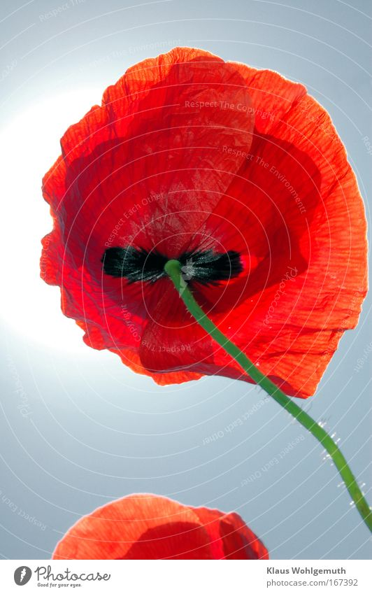 Papaver 2 Natur Himmel Sonne Blume grün Pflanze rot Sommer schwarz Feld Umwelt Blühend Schönes Wetter Wildpflanze