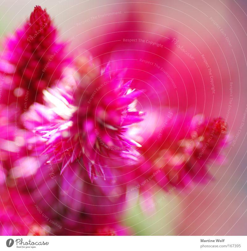 einfach pink Natur Pflanze Frühling Sommer Blume Blüte Duft Spitze rosa Licht Blühend Farbfoto Außenaufnahme Makroaufnahme Tag Schwache Tiefenschärfe