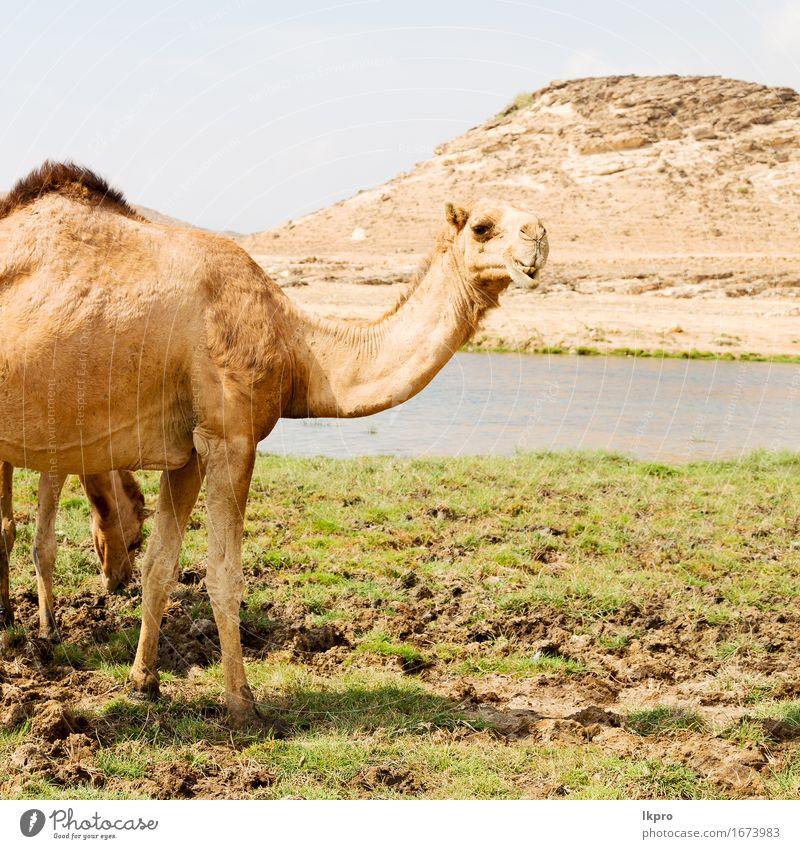 ein freies Dromedar in der Nähe des Meeres Essen Ferien & Urlaub & Reisen Tourismus Safari Strand Mund Natur Pflanze Tier Sand Himmel See Behaarung heiß wild