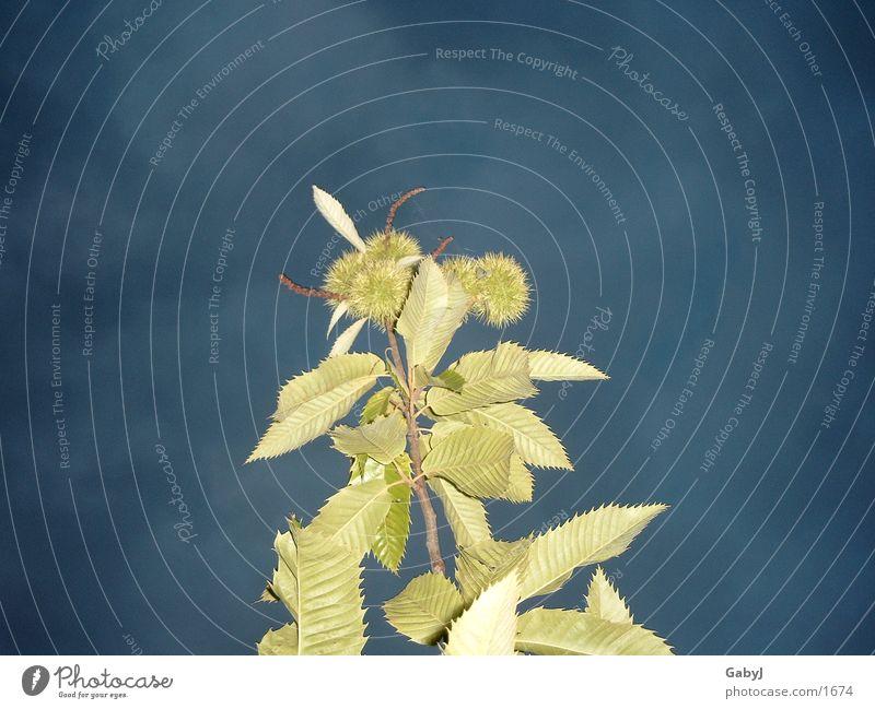 Nächtliche Marone Himmel grün blau Blatt Lampe dunkel Kastanienbaum Maronen