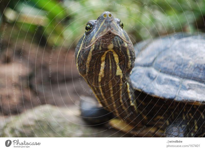Hochnäsig Farbfoto Außenaufnahme Nahaufnahme Menschenleer Tag Zentralperspektive Totale Tier Tiergesicht Schuppen Zoo Schildkröte 1 alt Neugier braun gelb grün