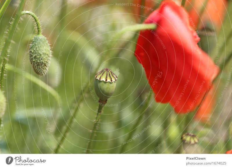 Klatschmohn Natur Ferien & Urlaub & Reisen Pflanze Sommer schön Landschaft Blume rot Blatt Gefühle Wiese Garten Stimmung Tourismus Park Feld