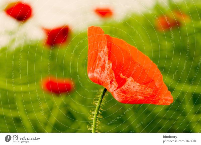 red poppy Natur schön Blume grün Pflanze rot ruhig Wiese Stil Blüte Gras Park Landschaft Feld Design Umwelt