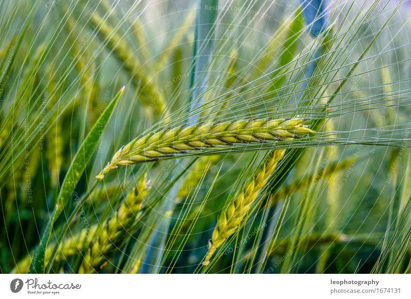 Weizen Feld Ernährung Lebensfreude Landwirtschaft Bioprodukte Ernte Ackerbau Korn Vegetarische Ernährung Kornfeld Roggen Rohstoffe & Kraftstoffe Weizenfeld