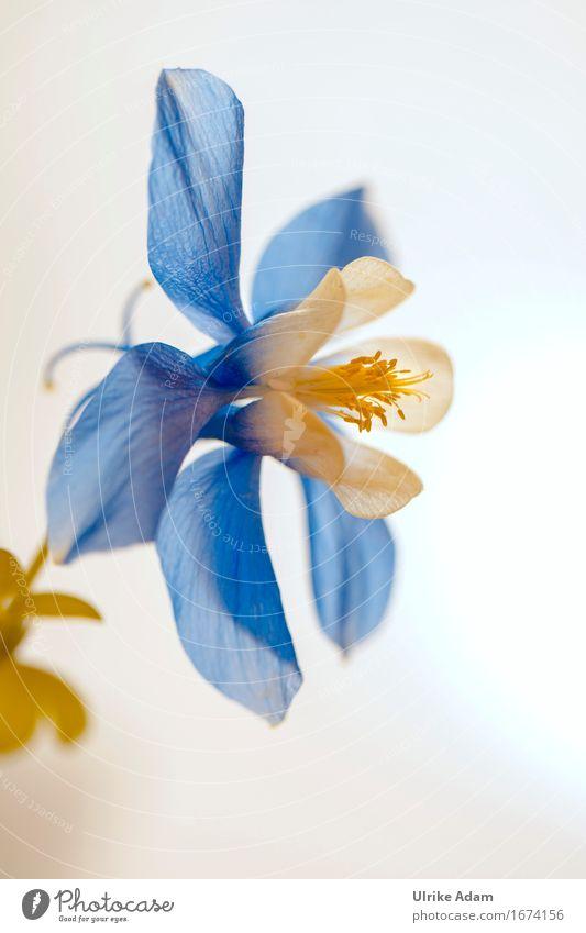 Blau / weiße Akelei (Aquilegia) Natur Pflanze Sommer Blume Blüte Wildpflanze Topfpflanze Blütenstempel Garten Park Dekoration & Verzierung Blumenstrauß Blühend